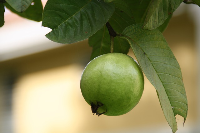 guava leaves for weight loss
